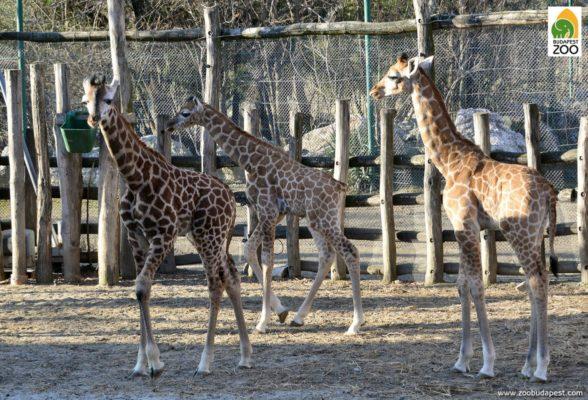 Nevet kaptak a legifjabb zsiráfborjak a Budapesti Állatkertben