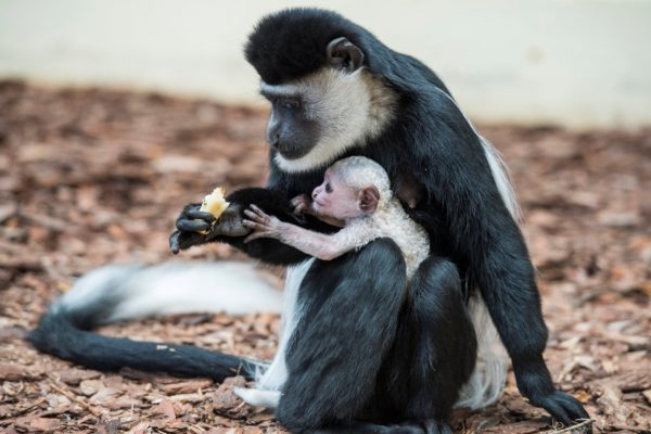 Zászlós farkú kolobuszok születettek a Veszprémi Állatkertben