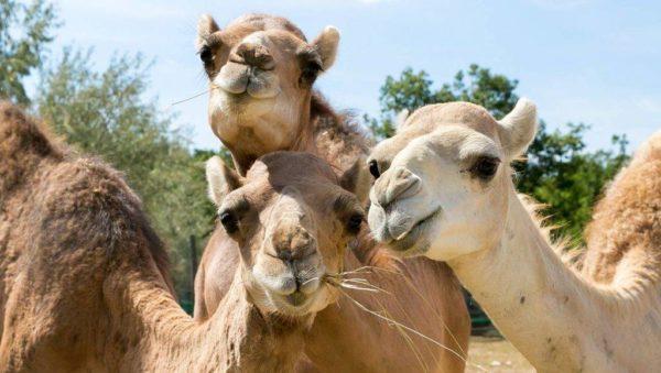 Elbűvölőek a Veszprémi Állatkert új dromedárjai
