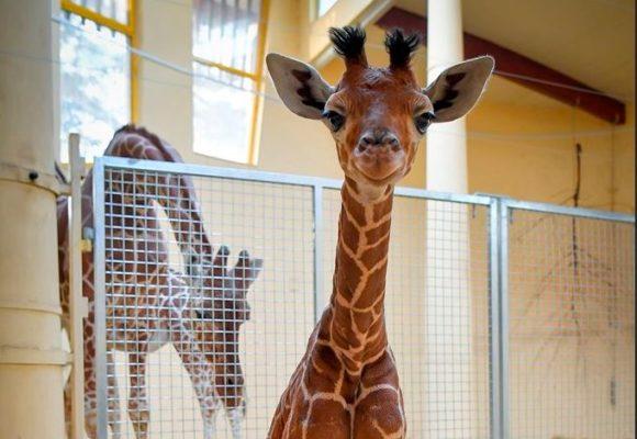 Bűbájos jövevény: zsiráfbika született a Debreceni Állatkertben